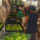 Banana plantation - packing station