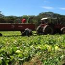Melon plantation